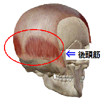 「後頭筋 画像」の画像検索結果